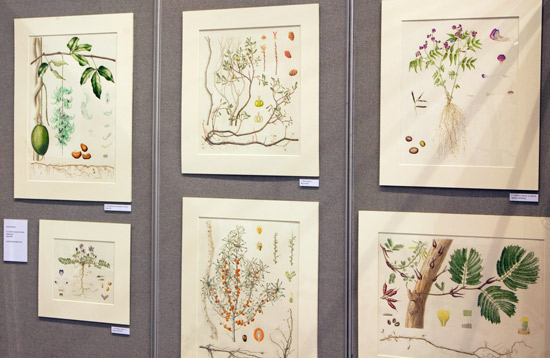 Sarah Robert's display of Six plants that nodulate with nitrogen-fixing bacteria