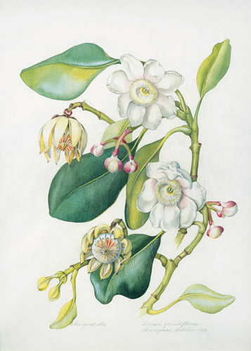 PictureClusia grandiflora by Margaret Mee (Shirley Sherwood Collection)