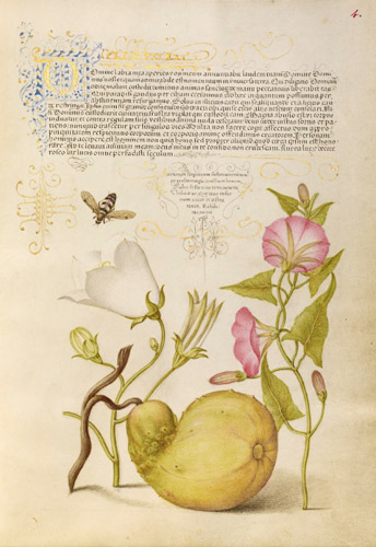 Fly or Blister Beetle, Willow Bellflower, Gourd, and Bindweed