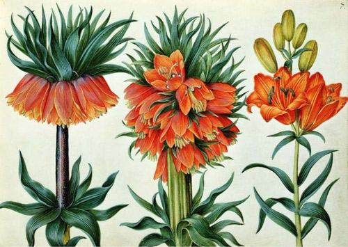 Fritillaria imperialis (Crown Imperial Lily) by Alexander Marshal