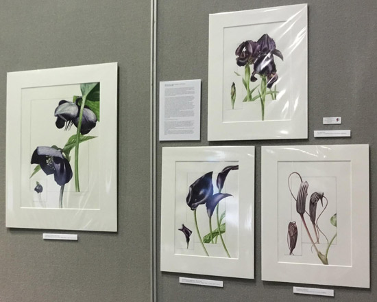 Gold Medal Winning Exhibit: Black flowers and cultivars; an exploration into mixing colours to create black - by Billy Showell