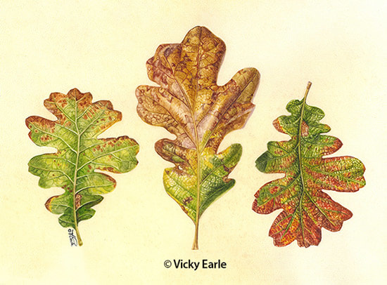 Garry Oak leaves copyright Vicky Earle