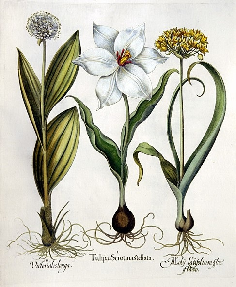 Late white tulip, Golden garlic, Mountain garlic by Basilius Besler