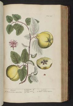 The Quince - a plate in The Curious Herbal by Elizabeth Blackwell