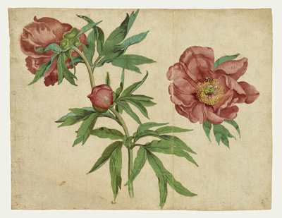 Studies of Peonies Paoenia officinalis (c.1472-3) by Martin Schongauer (1450-1491)