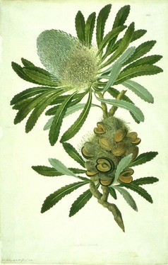 Banksia by Sydney Parkinson