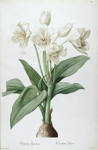 Famous botanical artists botanical art artists redoute crinum jagus sciox Gallery
