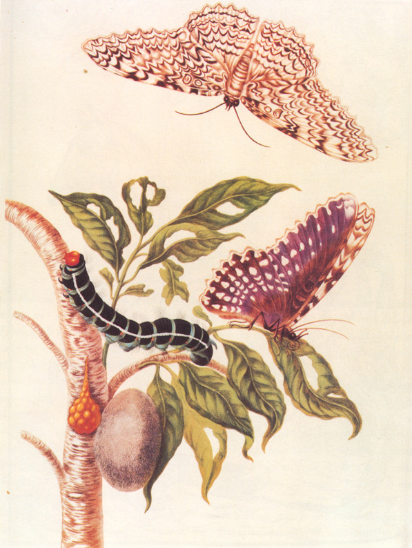 Maria Sibylla Merian - BOTANICAL ART & ARTISTS