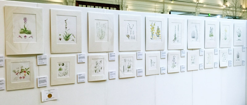 Iceni Botanical Artists exhibit - Brecklands Wild Flowers - Heaths and Grassland - at the RHS Botanical Art Show 2016
