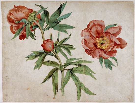 Study of Peonies by Martin Schongauer