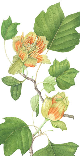 Tulip Tree by Maureen Seed