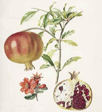 Grenadier à fruits doux (Pomegranate) by Pierre Jean François Turpin