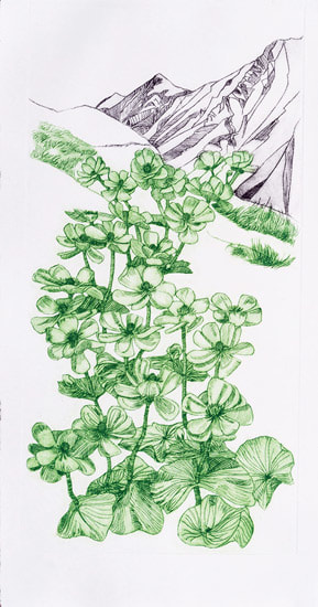 Ranunculus lyallii, 'Mount Cook lily' (Drypoint) Copyright Valerie Cuthbert